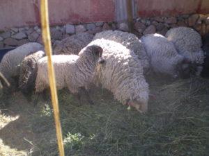 Les moutons de Parca