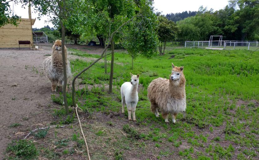 Les alpagas du Rancho Kawell