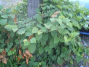 Plante à jaune dont je ne connais pas le nom, courante à Puerto Montt, vue générale, cette plante disparaît à l'automne