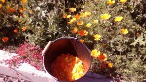 Fleurs d'elchotsia ou pavot de Californie