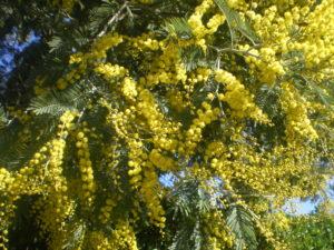 Mimosa en fleur à Longotoma
