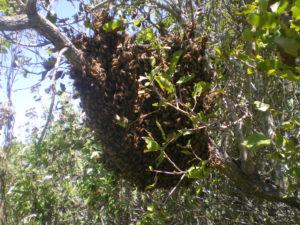Un des trois essaims d'abeilles que j'ai récupéré à Longotoma