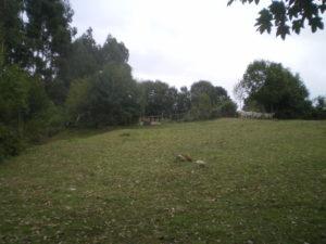 Toisons de mouton accrochées sur la clôture au fond du champ