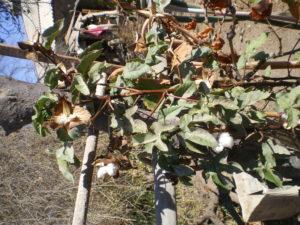 Plan de coton à Paipote, près de Copiapó, Chili