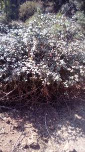 Les feuilles de ronces avec les jeunes rameaux, excellente solution de taille, teignent d'un joli jaune, en dégageant une agréable odeur de confiture, présence de tanins, les épines piquent encore après cuisson