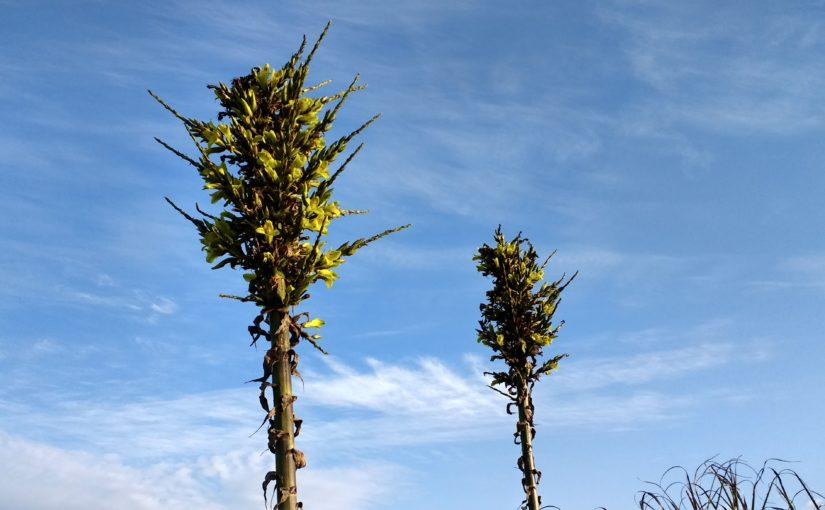 Cette plante est menacée, je ne l'utiliserai donc pas pour teindre, elle ne fleurit que rarement